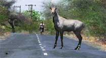 There's a gai in nilgai so BJP in a fix, both in Centre and state