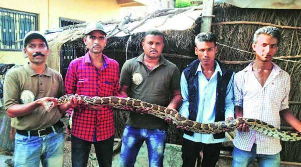 A six-foot-long snake dragged out of an under-construction site in Vadodara on Friday. (Source: Bhependra Rana)