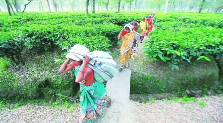 Himachal Pradesh eases land use curbs for tea estates