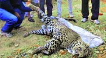 Lack of prey pushing leopards into cities:Experts