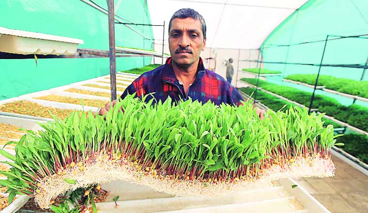 Jayeshbhai does hydroponics maize fodder cultivation — planting seeds in trays supplied with nutrient-rich solution.