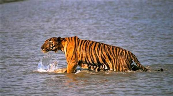 A Royal Bengal tiger prowls in Sunderbans, (AP Photo)