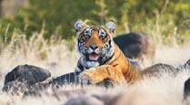 This is how and where India's Tiger numbers grew