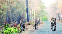 Hunting as a pack, 4 tigers overturn jungle laws