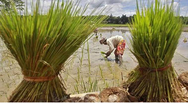 A labourer plants saplings in a paddy field on the outskirts of Agartala (Reuters photo)