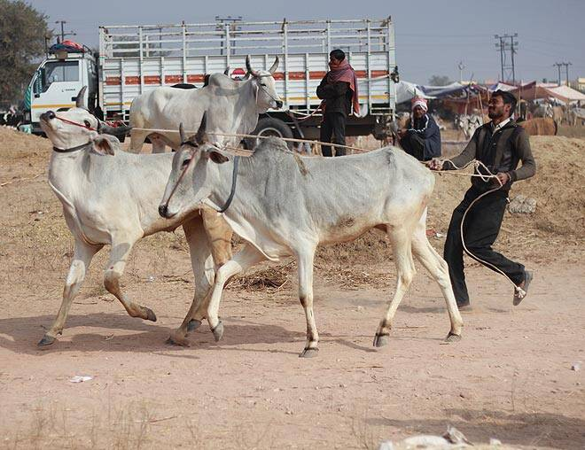 Nagaur Fair, Nagaur Cattle Fair, Nagaur Fair 2015