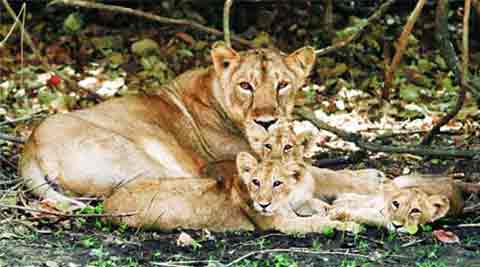 Gir forest, Asiatic lions, Gujarat High Court, Tourism Corporation of Gujarat Ltd, Ahmedabad news, gujarat news, india news, nation news, news