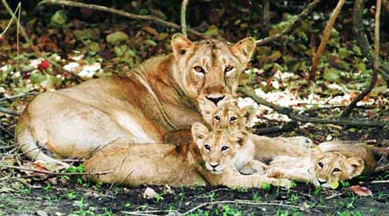 Gir Wildlife Sanctuary, Asiatic Lion, Gujarat government, Gujarat High Court, Gujarat lion, Save lions, India news, Indian Express news