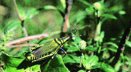 The Grasshopper's Run: They've got to be every kid's favourite insect!