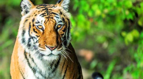 A tiger at the Corbett tiger reserve, which is at the heart of the Uttarakhand  success story (Source: Kanwar Deep Juneja)