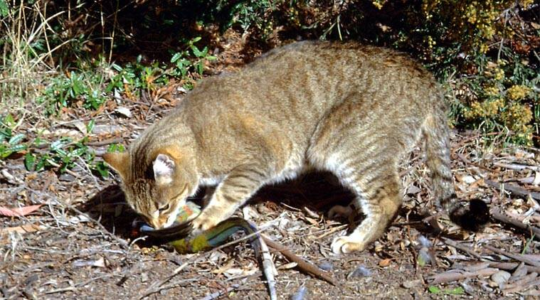 FILE - Photo provided by the Department of the Environment, a feral cat catches and eats a crimson rosella bird at an unknown location in Australia. (Source: AP)