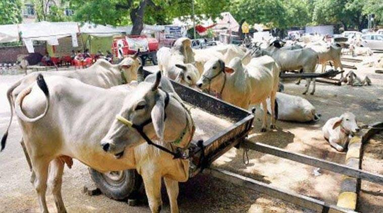 Vasundhara Raje, Vasundhara Raje government, Raje government, tracking cattle, Rajasthan Goshala Act 1960, Rajasthan Goshala Act, cattle breeders, animal husbandry department, animal husbandry, beef ban, cow trafficking, cow protection, Rajasthan Camel (Prohibition of Slaughter and Regulation of Temporary Migration or Export) Bill, camel slaughter ban