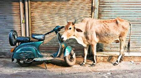kusum mehdele, cow on streets, cow slaughter, madhya pradesh cow slaughter, beef ban, kusum mehdele cow slaughter, cow slaughter news, cow news, bhopal news, india news