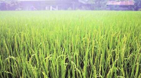 Growing 'Safe' Paddy: Punjab's crop diversification comes a cropper
