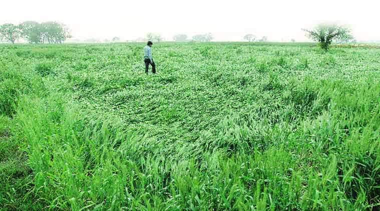 unseasonal rain, hailstorm standing crop damage, agriculture criss, standing crops , standing crop damage, Unseasonal rainfall