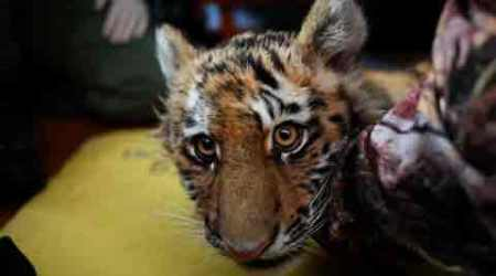 Poachers kill tiger cub in Bandhavgarh