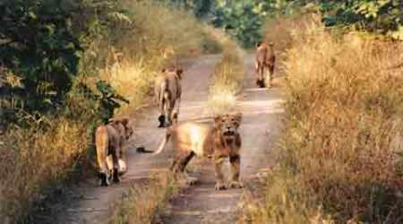 Forest dept halves number of Gir lionsafaris