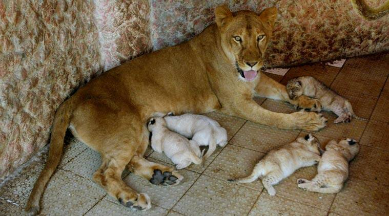 African lioness named Rani, or Queen, sits with her newly born five cubs at the house of her owner who has grown her as a pet, Thursday, March 26, 2015, in Multan, Pakistan. The African lioness has given birth to five healthy cubs. Lions normally have litters of two or three cubs. (AP Photo/Asim Tanveer)
