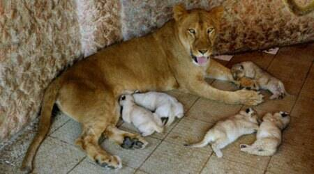 Lioness kept as pet in Pakistan gives birth to 5 cubs