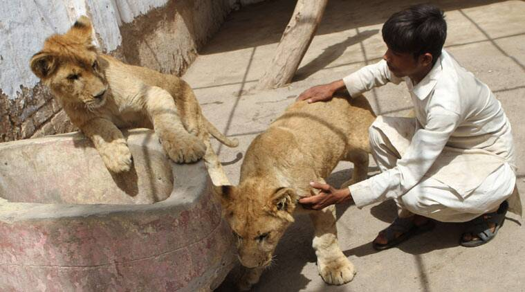 A caretaker comforts cubs of African lioness named Rani or Queen, at a house of their owner who has adopt them as pet on Thursday, March 26, 2015, in Multan, Pakistan. The African lioness named Queen has given birth to five healthy cubs. Queen's two other cubs, shown here, are 9 months old. Lions normally have litters of two or three cubs. (AP Photo/Asim Tanveer)