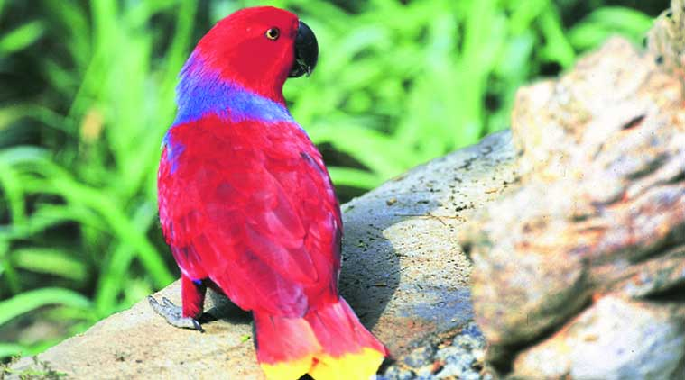 A female Eclectus Parrot found in the Solomon Islands, New Guinea
