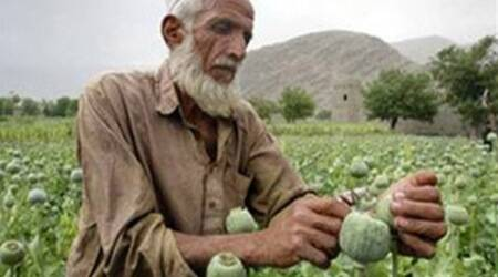 Poppy cultivation goes up as splinter groups enter business