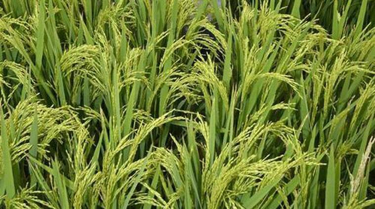 Poor rate of Basmati reduces cultivating area to half - The Indian Express