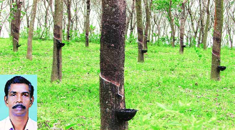rubber tree thesis On dec 16, 2015, nuttapon khongdee (and others) published a research thesis starting with the following thesis statement: since 1989, para rubber plantation in thailand has gradually shifted and spread from the south and the east to the north and northeast of.