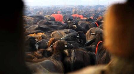 Cattle trucks, East Delhi, Cattle slaughter, Ghazipur wholesale market, Delhi news