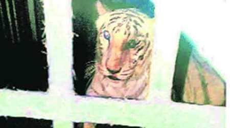 Tigress 'Becky' has skin cancer: Tata Memorialhospital