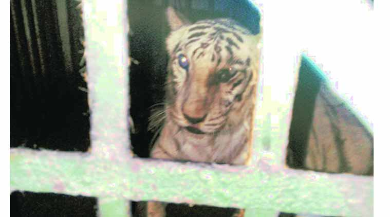 Tigress Rebecca in her enclosure at the Sanjay Gandhi National Park. (Source: Express Photo)