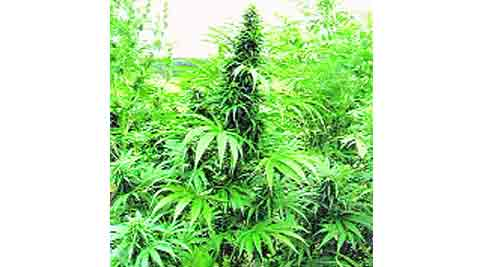 marijuana, PIL, cancer medicine, health, mumbai health, mumbai news, city news, local news, mumbai newsline