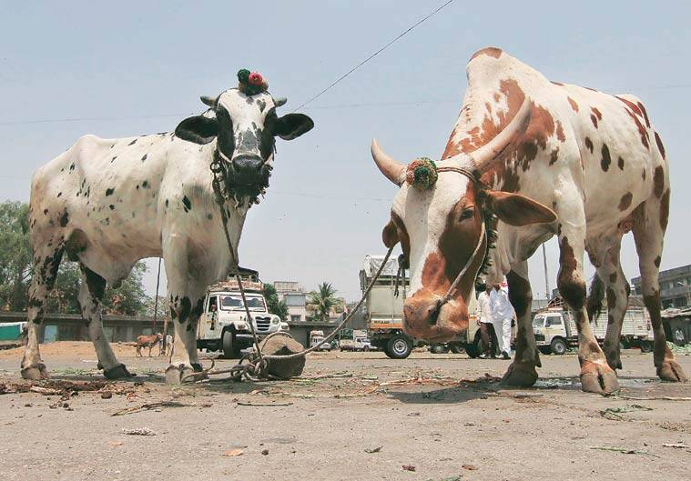 It has been three weeks since the Malegaon police started the excerise of photographing the cattle.