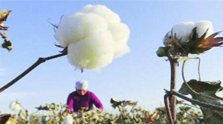 Whitefly attack: Farmers protest, 'gift' damaged cotton crop to govt