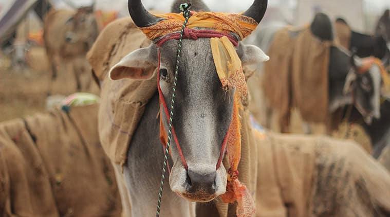 cow smuggler beaten up, cow smuggler opens fire in alwar, police, cow smuggler hospitalised, indian express news