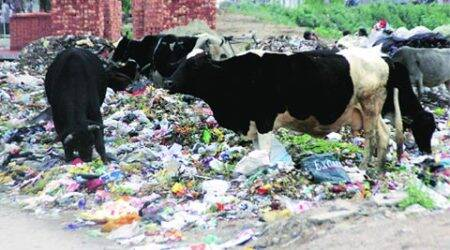 Not only plastic, stray cows eat many things injurious to health: Gaushala caretakers