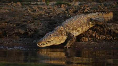 Mother jumps to rescue daughter from crocodile in Vadodara