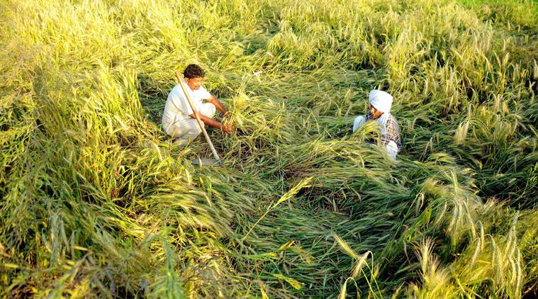 Punjab farmers, rain crop damage, crop damage, paddy crop, Basmati farmers, Punjab crop farmers, farmers of Punjab, crop prices, Punjab crop prices, Punjab news, India news, nation news