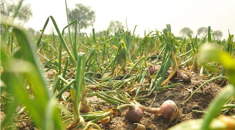 onion crop failure, crop failure, crop damage, rain crop damage, UP farmers, UP crop failure