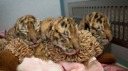 Utterly cute: Three Amur tiger cubs born on Earth Day at Columbus zoo