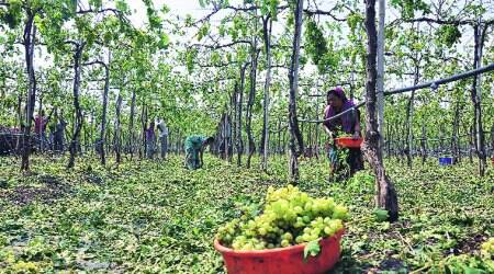 Farmers hit as grapes prices fall
