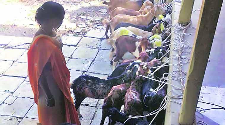sion gang, stealing goats, goat stole, goat sale, goat business, mumbai news, city news, local news, maharashtra news, Indian Express