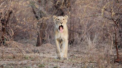 asiatic lions, asiatic lion census, lion census, asiatic lion in gujarat, asiatic lion gujarat, lion gujarat, gujarat lions, forest census, animal cesnsus, rajkot news, gujarat news, india news, indian express