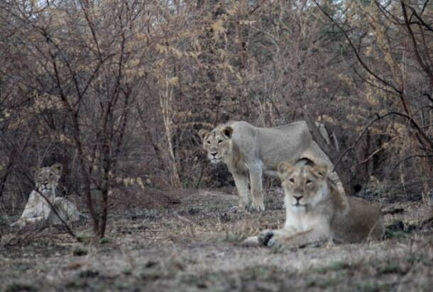 Frequent forest fire drives away lions in Gujarat's Amreli district