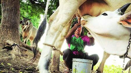 Crashing milk prices worldwide is latest farmer worry at home