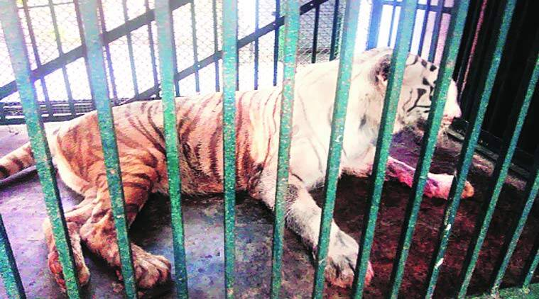 The lone white tigress at SGNP was diagnosed with cancer last month.