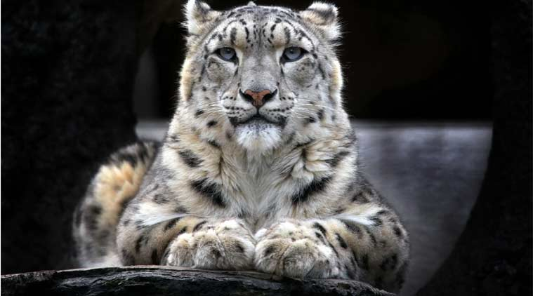snow leopard, Tom McCarthy, snow leopard vulnerable species status, snow leopard extinction, indian express news