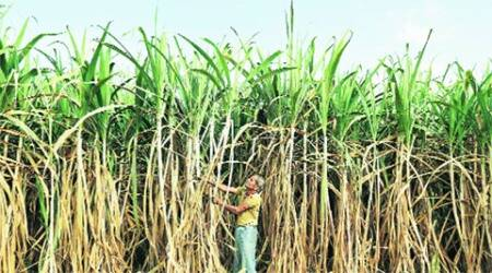 Govt may hike sugar import duty to 40%  to boost localprices