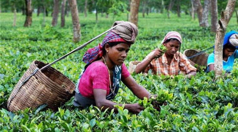 research paper on tea industry