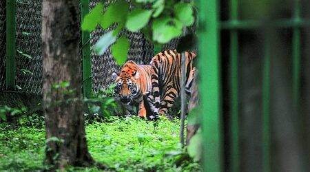 Fatal attack by tiger reopens debate: Should big cats be released in the wild after capture